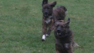 The Girlies Ada & Bella Legging It At A & B Dogs Boarding & Training Kennels.