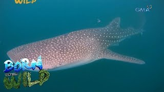 Born to Be Wild: Whale shark watching in Donsol, Sorsogon