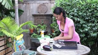 How to Plant & Germinate Eggplant : Garden Seed Starting