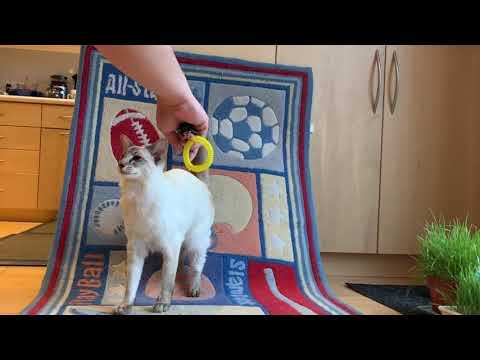 Balinese Cat Darci's Back up Tricks