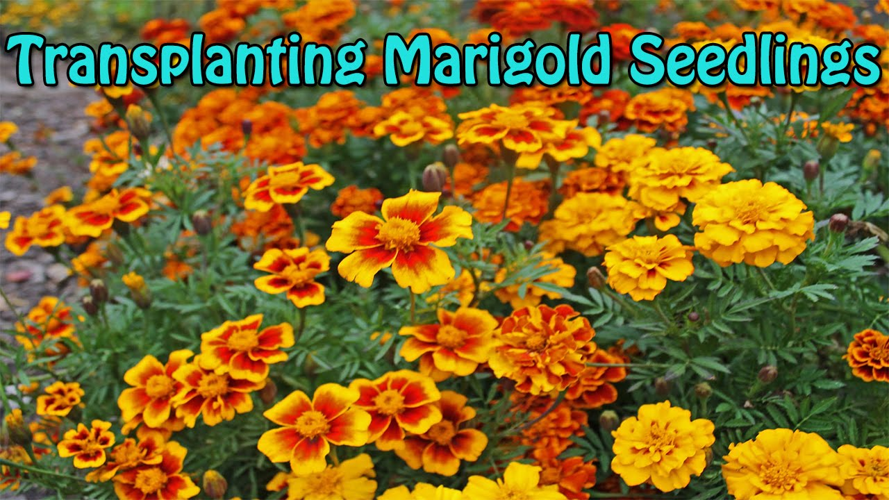 Marigold Seedlings Transplanting Complete Guide Quick Easy Youtube