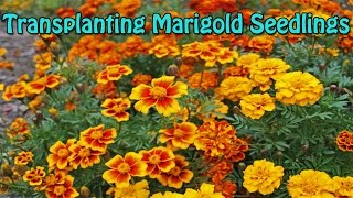 Marigold Seedlings Transplanting Complete Guide Quick & Easy
