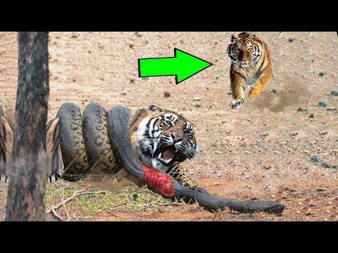 Тигр против питона змея реальный бой °° самые удивительные атаки диких животных большая битва