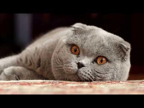 А Ваш Кот Тупой? Самые Глупые Породы Кошек ТОП 10 Вислоухий Бобтейл Персидский Дрессировка Поведение