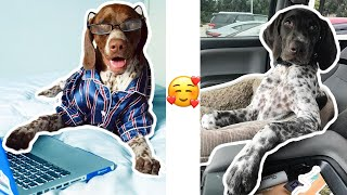 The Most Adorable German Shorthaired Pointer Puppies 2020! Video #1