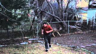 Deer Stuck in the Fence - It regained its strength eventually.