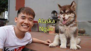 Hưng Vlog | Đón Cún Alaska Về Với Gia Đình Bà Tân Vlog Và Hưng Troll