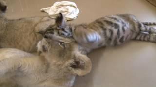 とにかく、やんちゃのトラと甘えん坊のライオンの赤ちゃん 今回は偶然に...