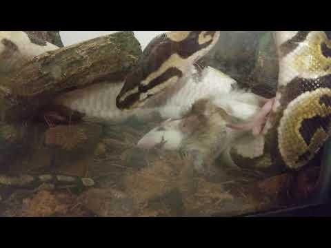 Feeding Young Ball Python (live Feeding)