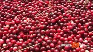 Oregon Cranberry Harvest