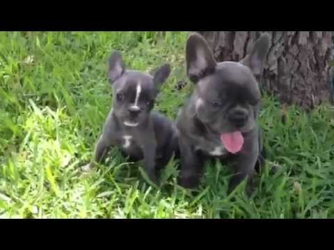 Blue French Bulldog Puppies 9 Weeks Old Youtube