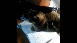 Кошка учит уроки
