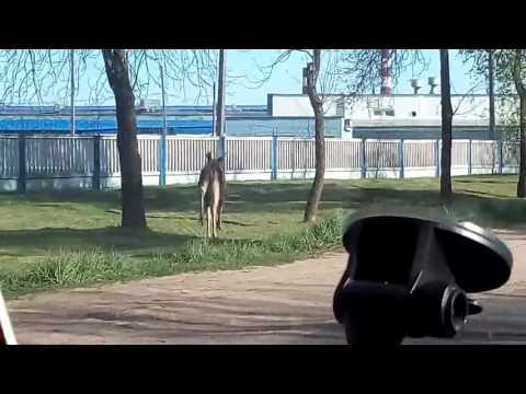 Преследование на лося в Витебске