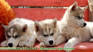 Щенки сибирской хаски девочки родились 24 февраля 2017 года
