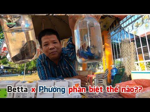 Anh Tuấn hướng dẫn cách phân biệt dòng Cá Betta và Cá Phướng