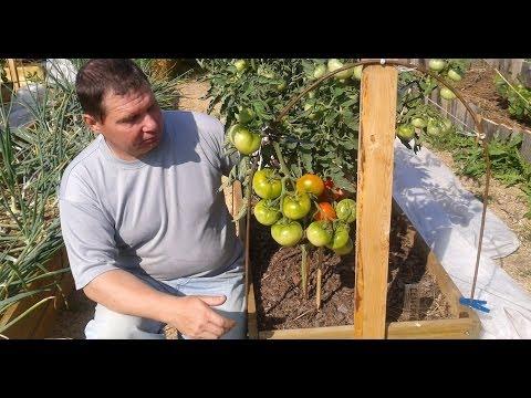 Сорта томатов для открытого грунта