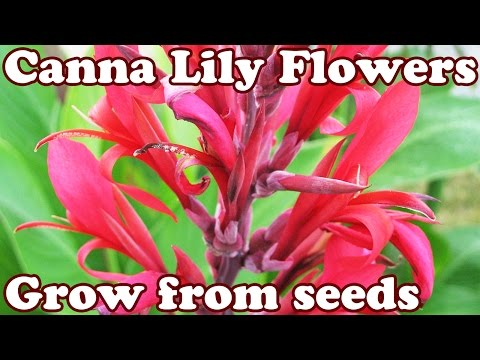 How To Grow Canna Lily Lilly Cannas Lilies Lillies Seed Seeds - Perennial Flower Perennials Flowers