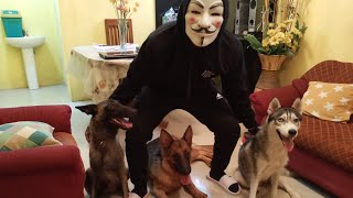 Vendetta Mask Prank my  Dogs(Hilarious prank)(G.Shepherd, Belgian, S.Husky)Funny dogs! best reaction