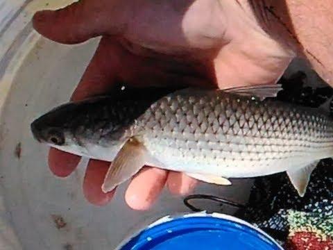 Рыбалка пеленгас в лимане.