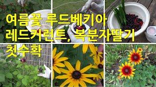 여름꽃 루드베키아와 레드커런트, 복분자 수확하기. Su…