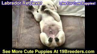 Labrador Retriever, Puppies, For, Sale, In,omaha ,nebraska, Ne,lincoln, Bellevue, Grand Island