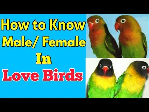 LOVE BIRDS ME MALE/FEMALE KI PEHCHAN KESE KARE || HOW TO KNOW DIFFERENCE MALE/FEMALE IN LOVE BIRDS✅