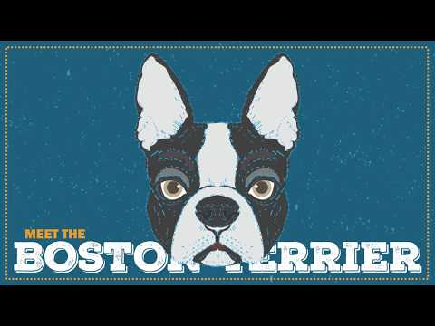 Breed Spotlight: the Boston Terrier