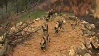 Behind the scenes: African Hunting Dogs at  ZSL London Zoo