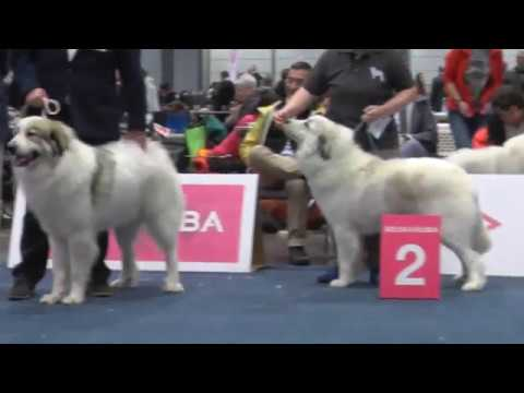 WDS2017-Pyrenean Mountain Dog - Female - Intermediate class