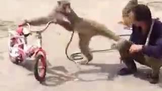 Desi monkey...