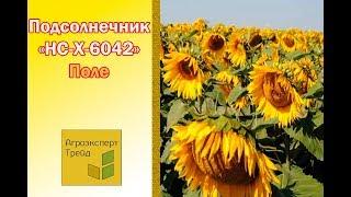 НС-Х-6042 -  Гибрид подсолнечника в Украине