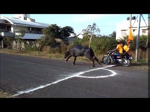 Buffalo race in India