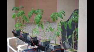 Trellis System For Hydroponic Tomato Plants