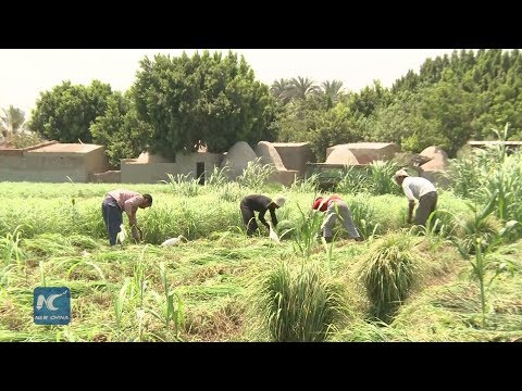 Medicinal herb farming flourishes amid Egypt's ailing economy