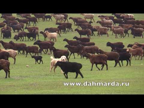 видео: Таджикские аборигенные САО Таджикистана   саги дахмарда из Кабадияна и Шахритуса