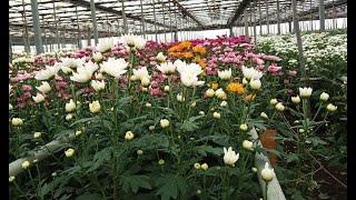 Ставропольские цветы составили конкуренцию голландцам