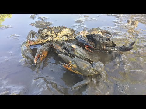 Mud Crabs Catching After Water Go Down To The Sea | Finding Crab At Mangrove Area