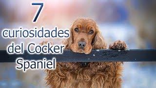 Curiosidades Cocker Spaniel  Top 7