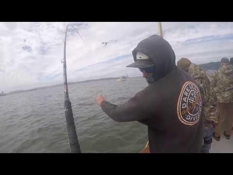 P.B Massive Halibut While Fishing The SF Bay (California Dawn Sports Fishing)