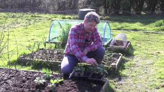 How to plant Broad beans or Fava Beans