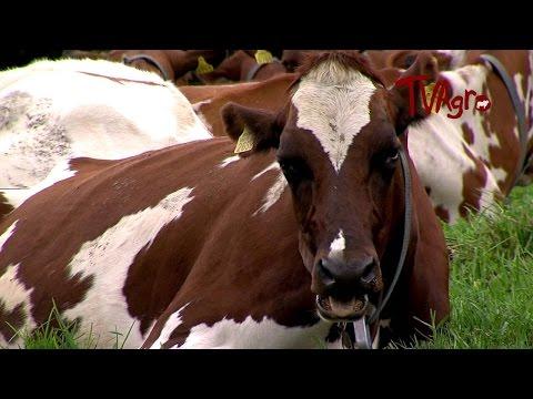 Cómo criar y reproducir genéticamente la raza Ayrshire - TvAgro por Juan Gonzalo Angel