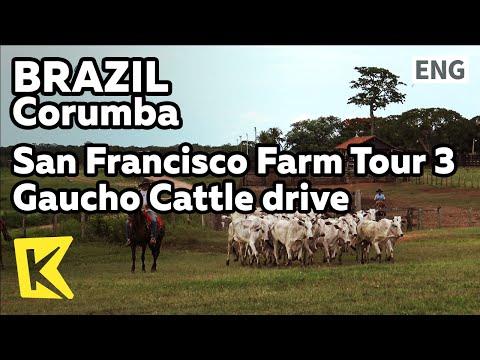 【K】Brazil Travel-Corumba[브라질 여행-코룸바]샌프란시스코 농장 투어3 가우슈식 소몰이/Cattle shed/Calf/Pasture/Gaucho