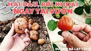 Hái dâu tây ở đà lạt và bới khoai tây ngay tại vườn   Tập 7