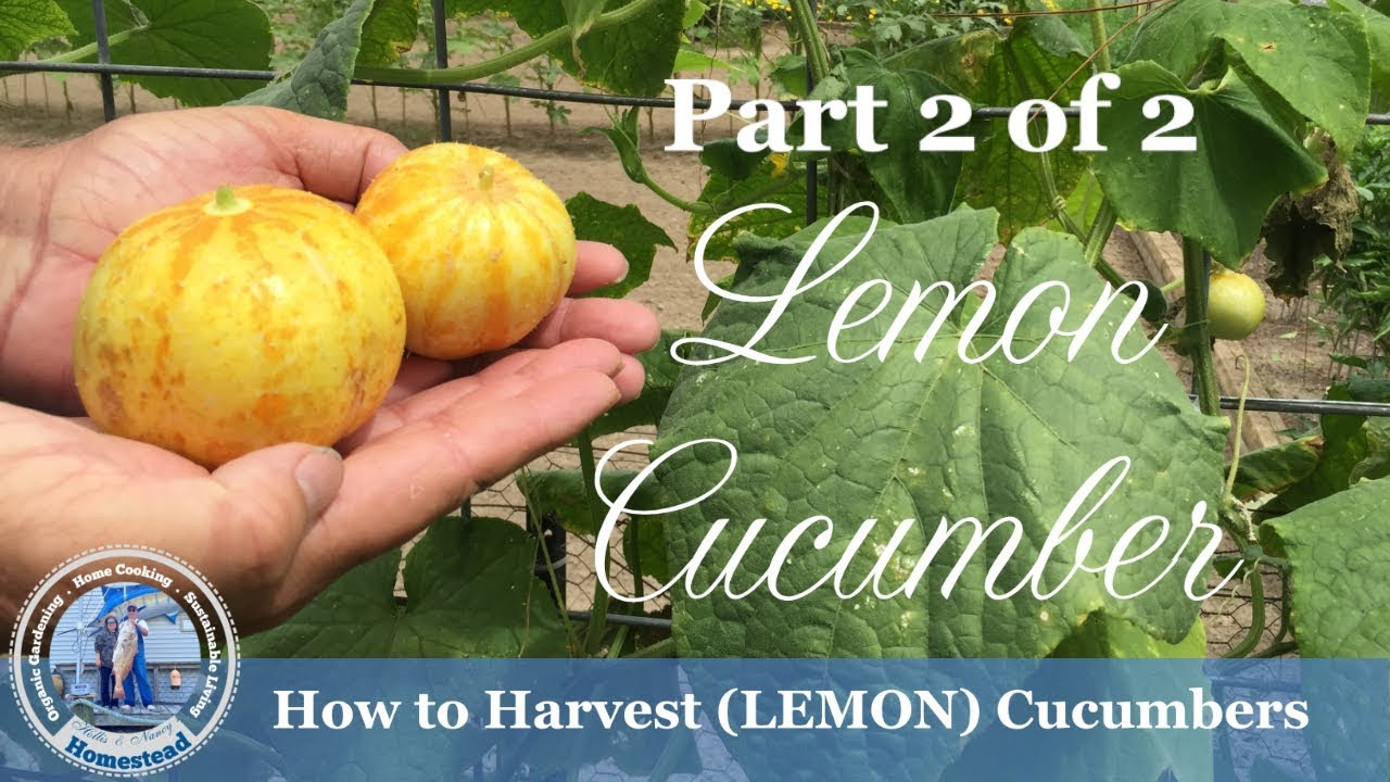 How to Harvest Cucumbers - Lemon Cucumbers - YouTube