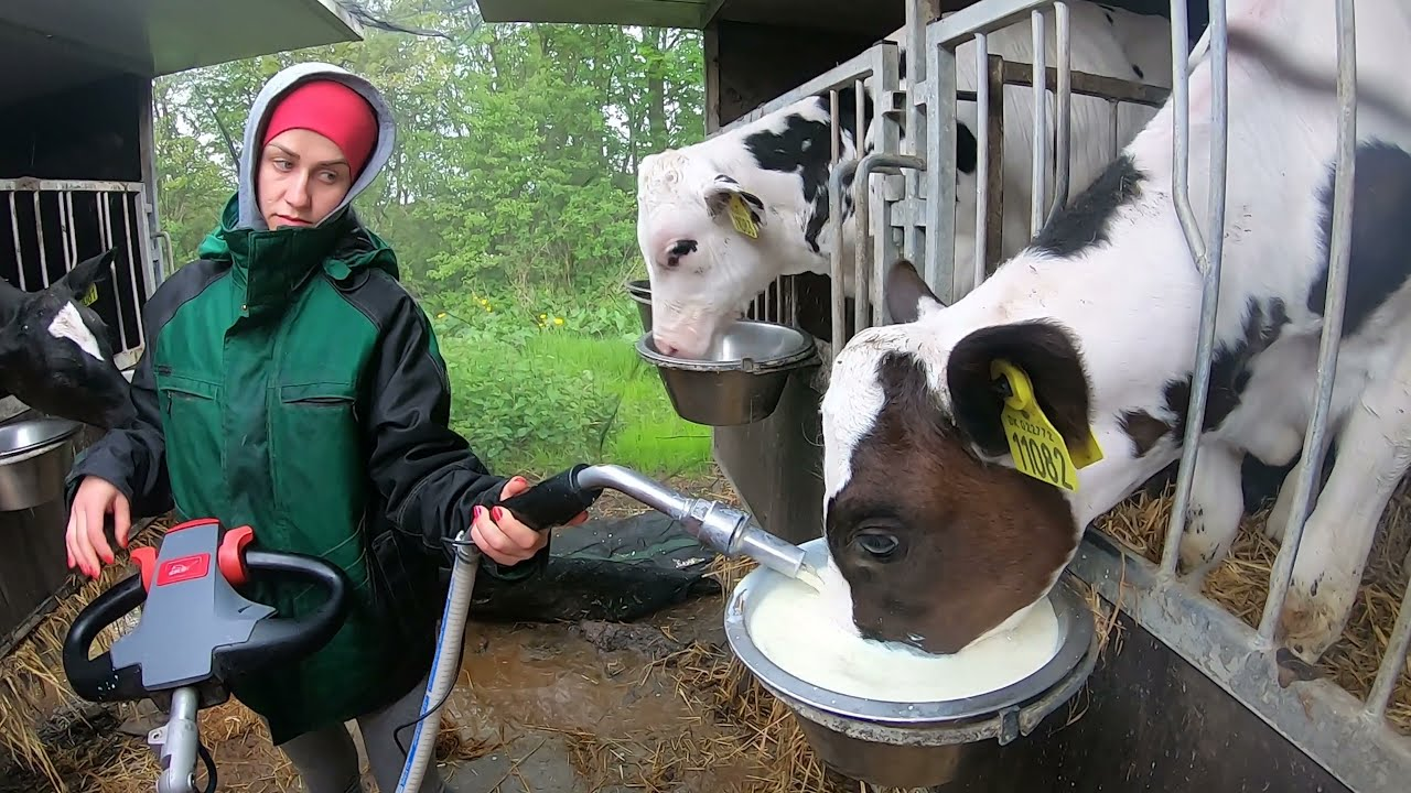 How Cow Give Birth BABY CALF BEING BORN Modern Cows Milking Pretty Girl Farm #WithMe Milking Pigs