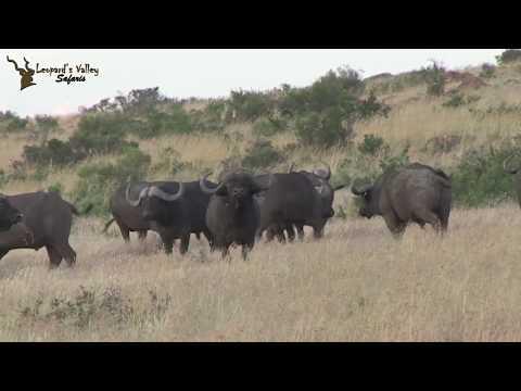 Leopards Valley Safaris, Buffalo Hunt 2017 - Part 04 Final