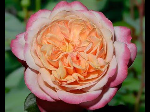 Вопрос: Нужно ли розы прищипывать Как предотвратить появление слепых побегов?
