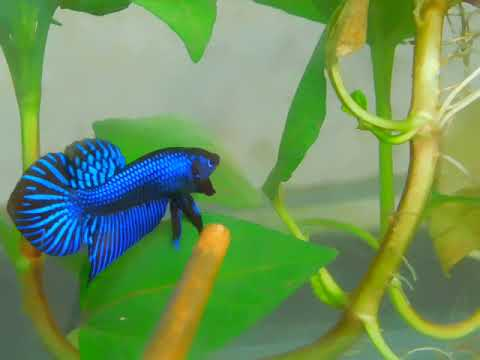 On sell now. Blue Betta Mahachaiensis . If you're interested