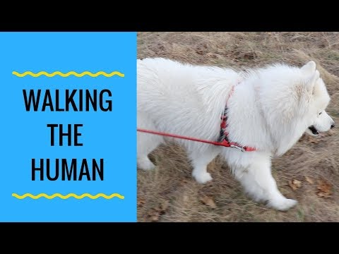 How to Fasten a Samoyed Dog Harness