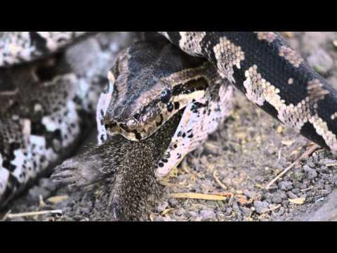 Python eating Mongoose in Botswana